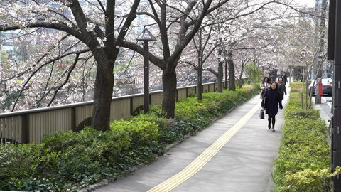 Tokyo, Japan - circa April, 2017: edestrian at Meguro River Park, Tokyo during early cherry blossom (sakura hanami). It is one of the most famous places to view sakura flower.