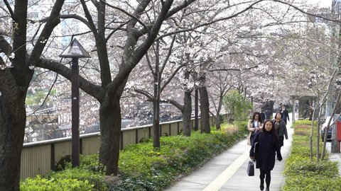 Tokyo, Japan - circa April, 2017: edestrian at Meguro River Park, Tokyo during early cherry blossom (sakura hanami). It is one of the most famous places to view sakura flower. Zoom out