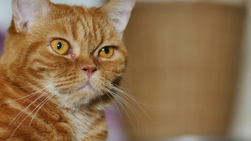 Close up cute red Scottish fold cat looking at something. | Shutterstock HD Video #34432111