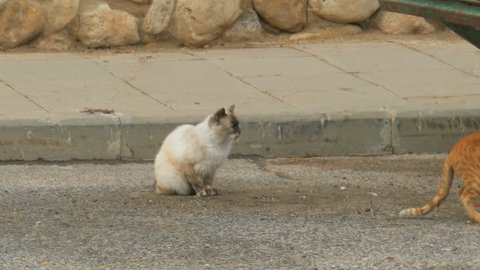 Purebred Siamese cat lost and frightened sitting on the street near to the garbage can and a homeless red cat coming to meet her