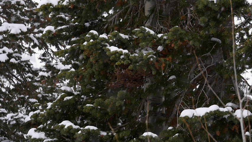 Slow motion pan wide shot of Douglas Fir (Pseudotsuga menziesii) in winter with snow falling on branches taken near Park City, Utah, Wasatch Mountains.