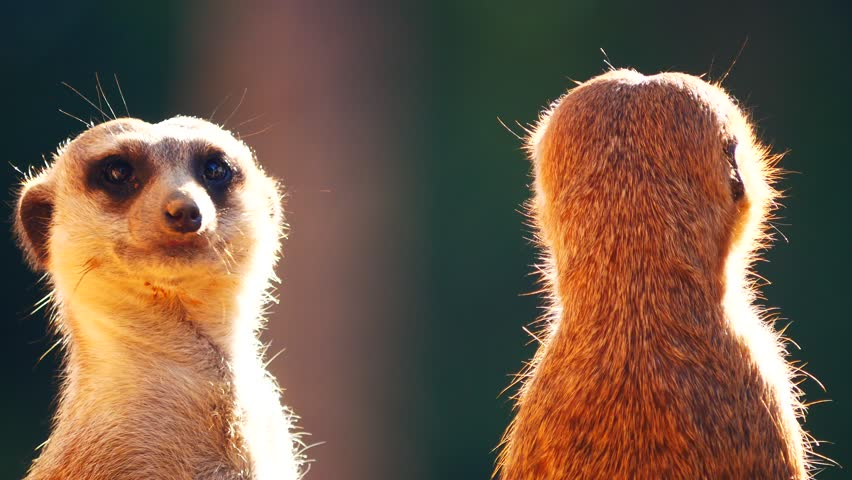 Close up meerkats standing and  watching for hunters. Meerkats are living in all parts of the Kalahari Desert in Botswana, the Namib Desert of Namibia and southwestern Angola, and in South Africa