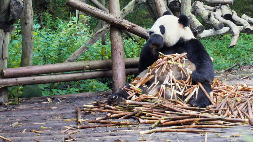 Cute happy giant panda eating bamboo. Funny panda bear sitting in pile of bamboo shoots among green woods. Amazing wild animal in forest.