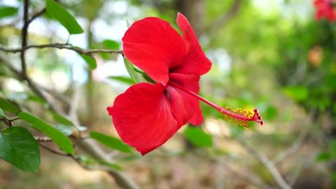Flower Hibiscus Color Background Wallpaper Stock Footage Video 100 Royalty Free 34596079 Shutterstock