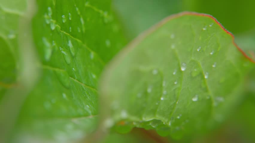 Clear raindrops form delicate patterns on a gently swaying leaf. #34606294