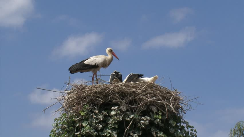 Bill clattering white storks with offspring on nest + flies off.The white stork (ciconia ciconia) is almost silent except for the noisy mutual bill-clattering when adults meet at the nest.