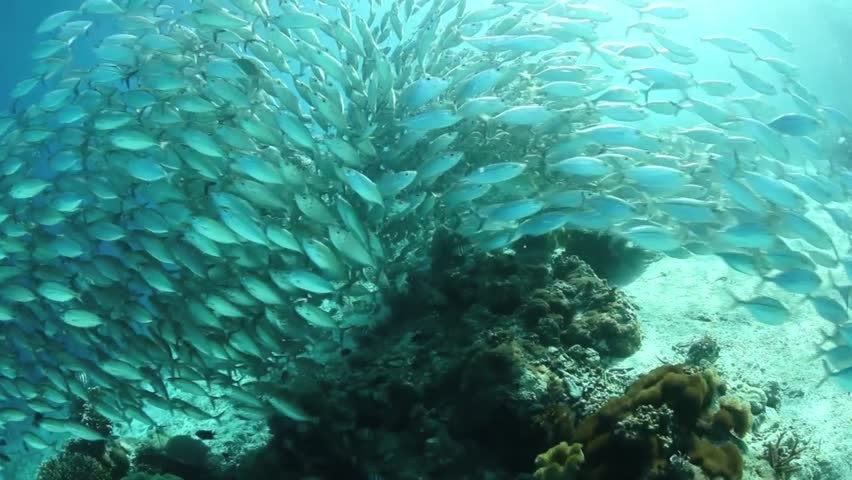 A thick school of scad part as they flow over a shallow sandy slope in the Solomon Islands. #3463817