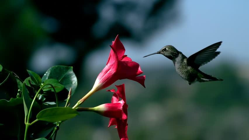 Hummingbird Approaching Mandevilla Red Flower Slow Motion