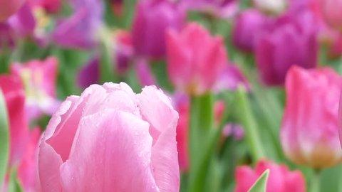 Close up of tulips flowers bulbs, Closeup planting tulips flowers bulbs blossoming, Spring flowers sunlight garden background. Tulips flowers growing at field, 4K