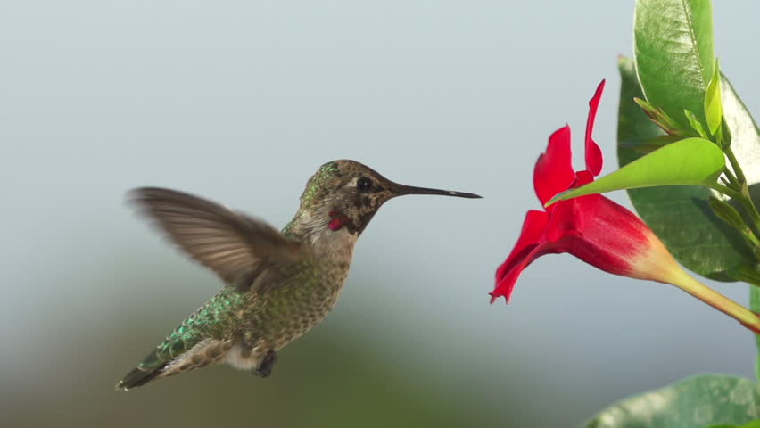 Hummingbird feeding in slow motion. Shot with a high speed camera.