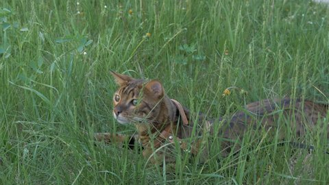 The one cat bengal walks on the green grass. Shooting speed 60fps in 4k, slow motion. Bengal learns to walk outdoors. He is slightly scared. He tries to hide in the grass.
