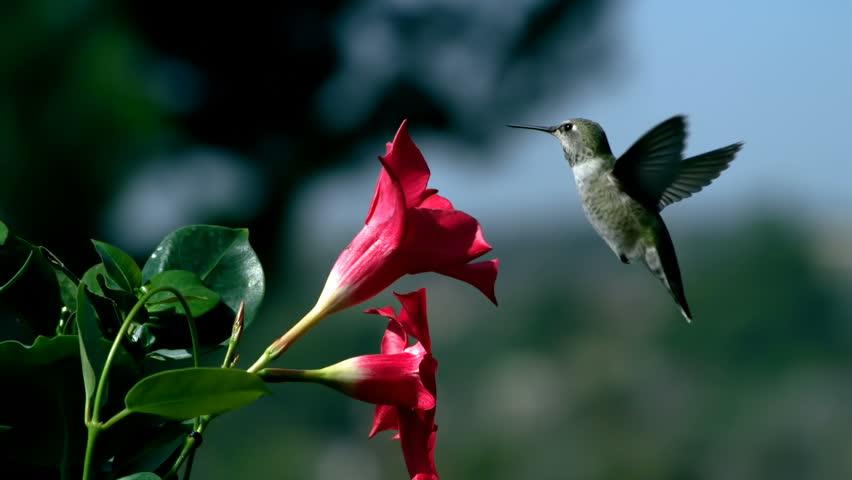 Hummingbird Feeds on Mandevilla Red Flower And Urinates Slow Motion
