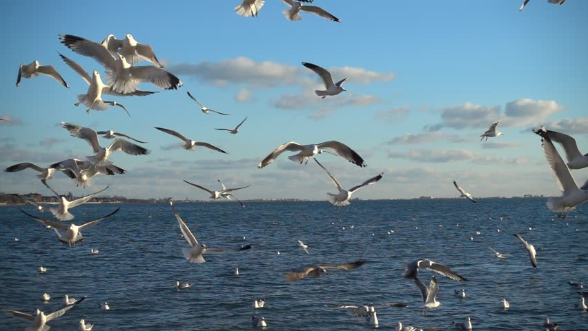 Seagulls fly over the sea. Slow Motion. 240 fps. | Shutterstock HD Video #34800454