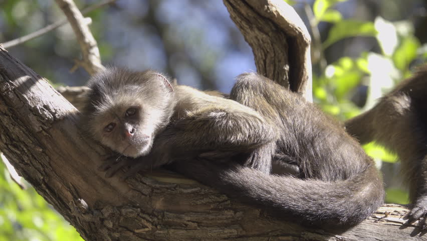 Scene of two young Capuchin monkeys sunning | Shutterstock HD Video #34822663