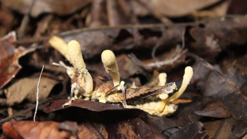 Cordyceps fungus infecting a grasshopper on the rainforest floor, Ecuador