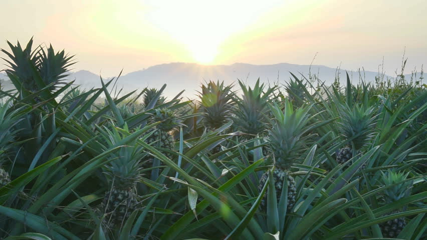 Pineapple plantation on the morning scene , smooth movement video scenes | Shutterstock HD Video #34832641