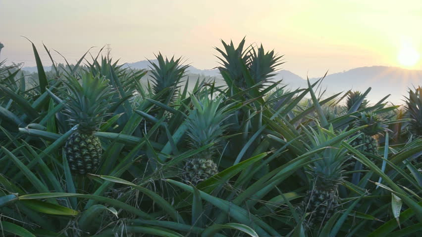 Pineapple plantation on the morning scene , smooth movement video scenes | Shutterstock HD Video #34832644
