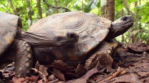 Yellow-footed tortoise (Chelonoidis denticulata). Male pursuing a female in the breeding season, Ecuador