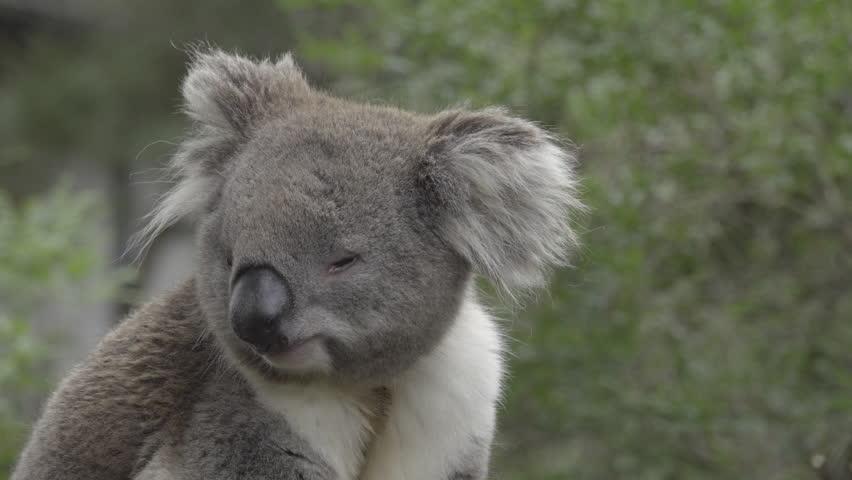 Scene of Peaceful Koala Looking : Video de stock (totalmente libre de  regalías) 34847470 | Shutterstock