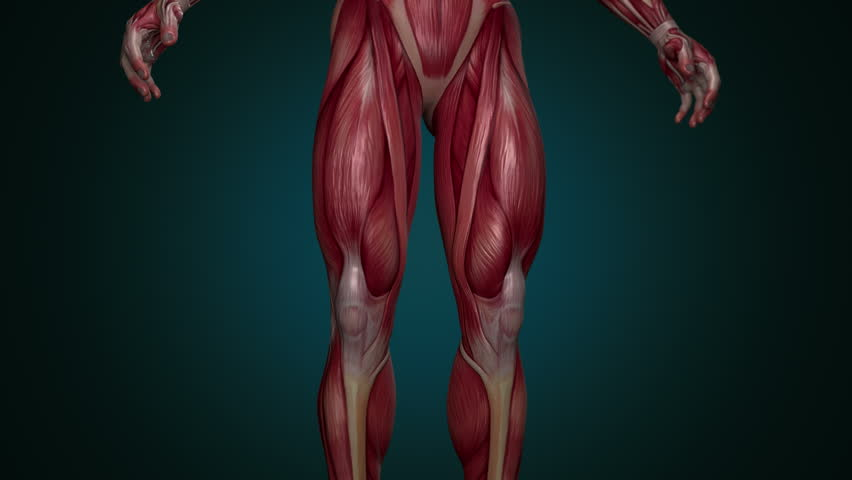 Muscular System lower body animation, with alpha. Camera rotation showing all the muscles, in slow motion. Alpha included in the second sequence. Royalty-Free Stock Footage #34860178