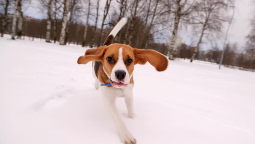 Cute Beagle dog run at snowy field, long ears fly in air, doggy chase and look straight to camera. Winter season, empty city park area. Young pet happy to play and jog around | Shutterstock HD Video #34968934