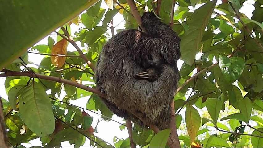 Brown-throated three toed sloth sleeping on a tree, Costa Rica, Central America | Shutterstock HD Video #35026318