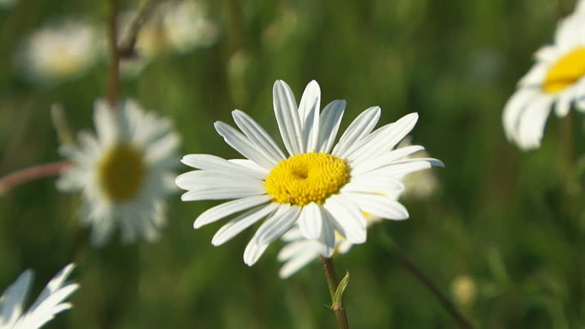 Blossoming daisy in a spring field.
