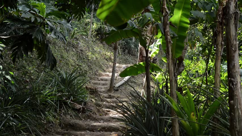 Path in the Jungle (with Banana Trees and Pineapple Plants) | Shutterstock HD Video #3529415