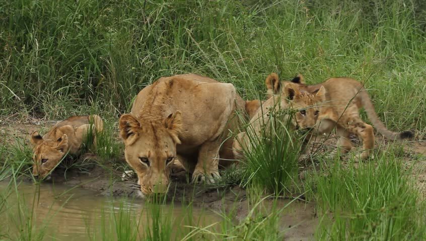 Lioness and her cubs drinking water from a river in the wild. #3555413