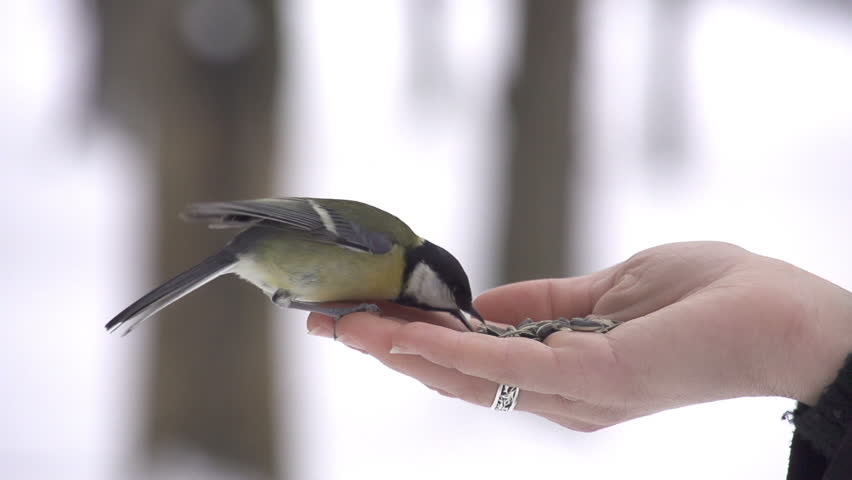 SLOW MOTION: Parus bird lands on hand and takes a seed | Shutterstock HD Video #3586481