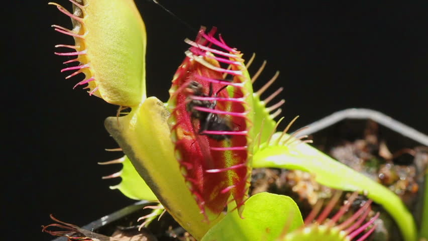 Carnivorous plant catching a fly