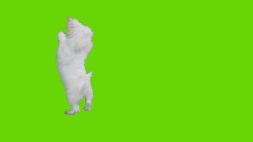 Dog jumps around and exists frame. Shot with red camera. Green screen ready to be keyed.