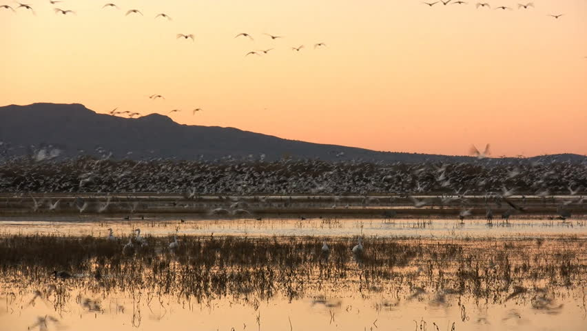 Part 1 of 2: Hundreds of snow geese take flight at dawn at Bosque del Apache National Wildlife Refuge, New Mexico, USA.