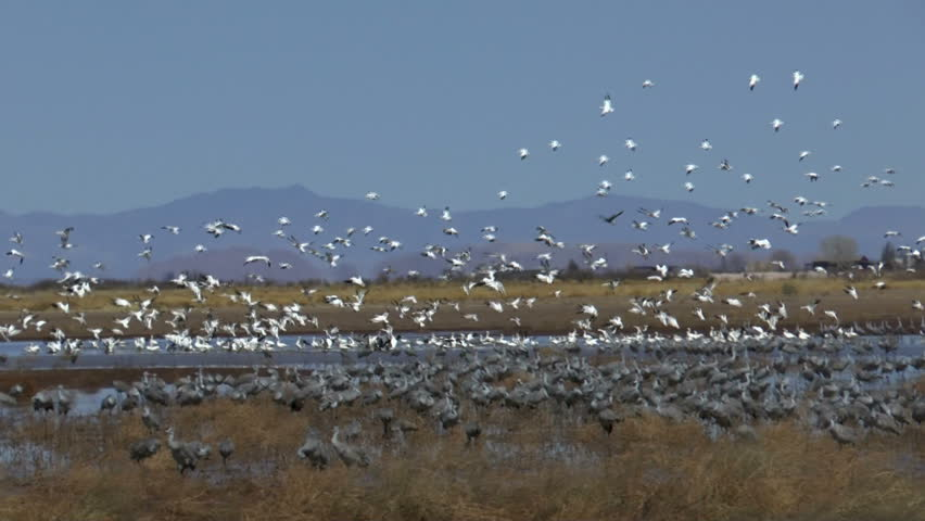 Bird flock, snow geese, fly in blue sky, swoop in for a landing in grassy wetlands next to hundreds of sandhill cranes. 1080p