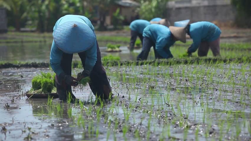 Group of farmer working hard on rice field in Bali