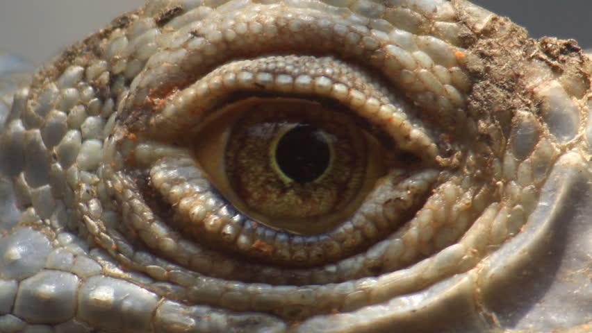 Close up Iguana eye and Flea