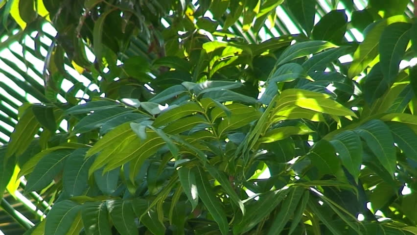 Mahogany Tree Leaf And Palm Tree Stock Footage Video 100 Royalty Free 36416 Shutterstock