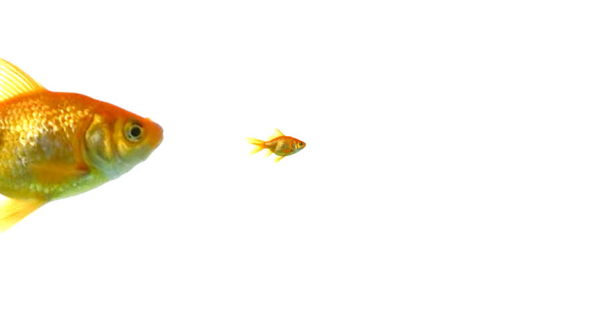 Closeup of goldfish | Shutterstock HD Video #3668423