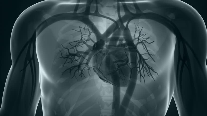 Human xray heart anatomy in detail