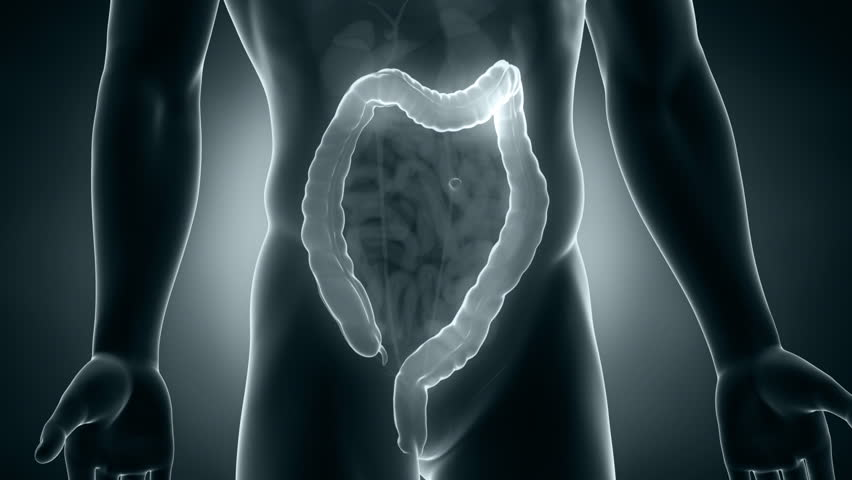 Male anatomy colon positioning in loop