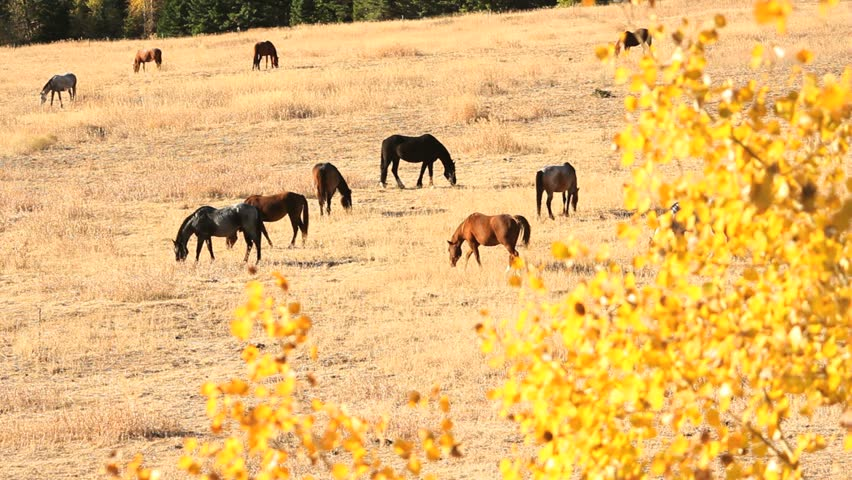 Nicola Valley, Horses Grazing, British Columbia. Horses graze on a hillside in the autumn sunshine. Nicola Valley, British Columbia, Canada.
