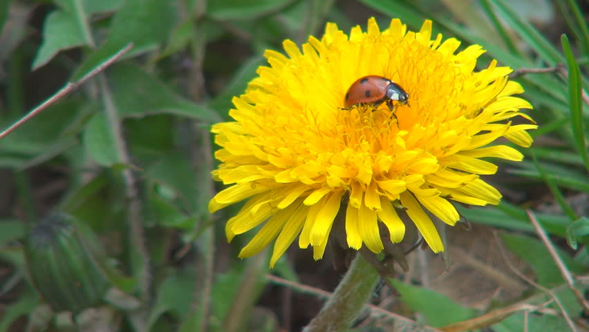 Macro Ladybug Walking on Dandelion Flower in Field, Meadow, Lawn, Spring Season