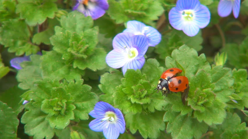 Ladybug Flying, Flight, Veronica Persica Flowers in Field, Ladybird, Bug, Macro