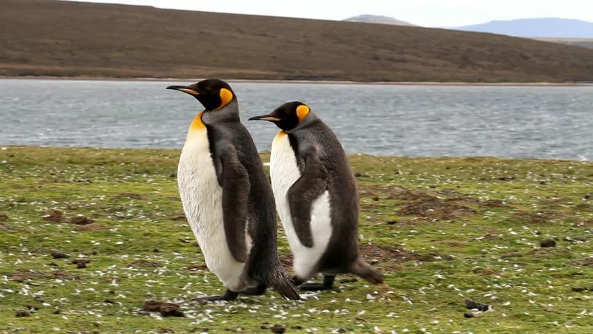 Couple of King Penguin walking around