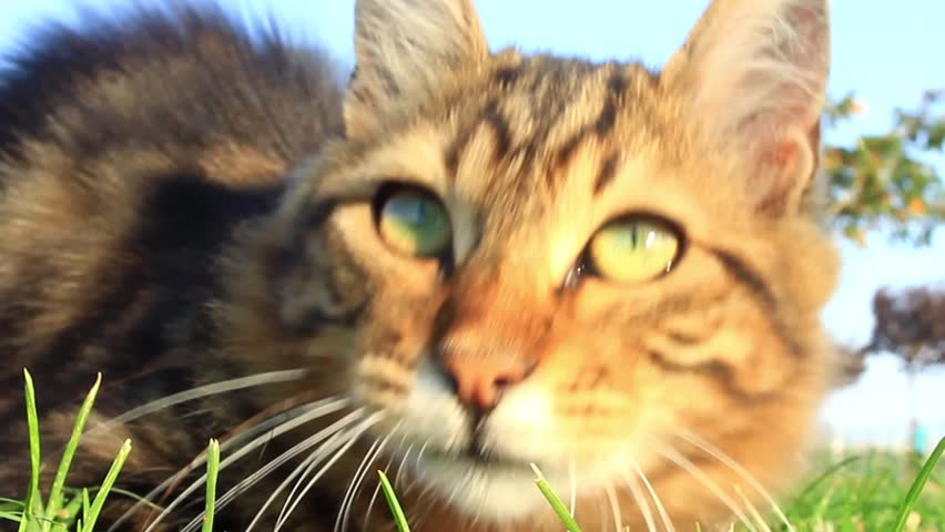 Playing with cat on nature. Lovely tabby cat playing on green grass.  #3729458
