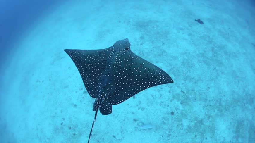 Spotted eagle rays cruise over a sandy bottom near Cocos Island, Costa Rica. #3740228