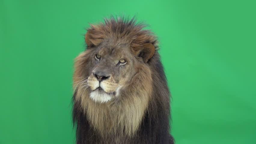 Slow Motion of a Lion roaring in front of a green key | Shutterstock HD Video #3811637