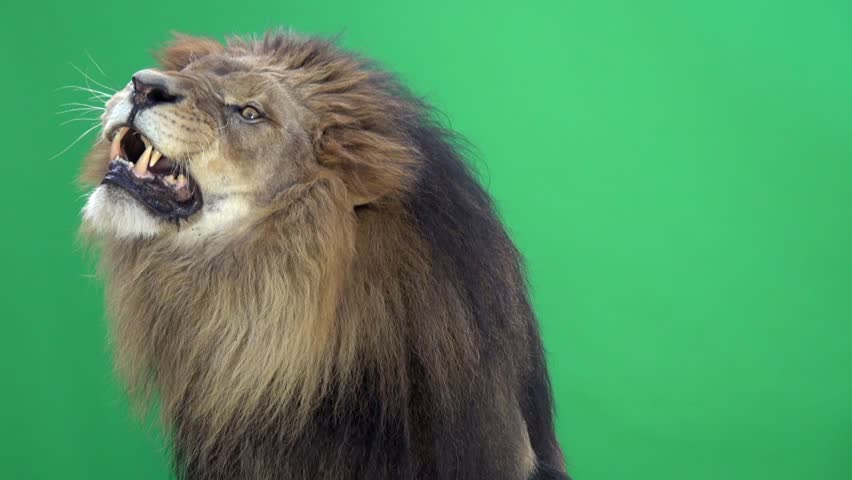 Slow Motion of a Lion roaring in front of a green key