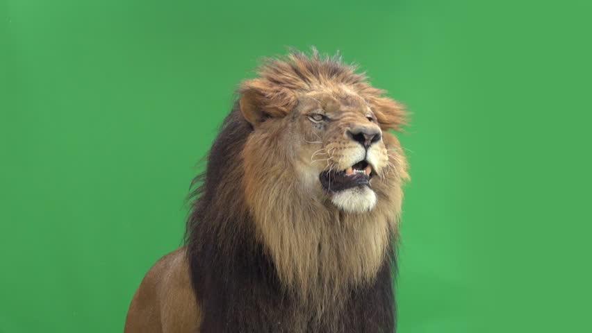 Slow Motion of a Lion roaring in front of a green key | Shutterstock HD Video #3811646