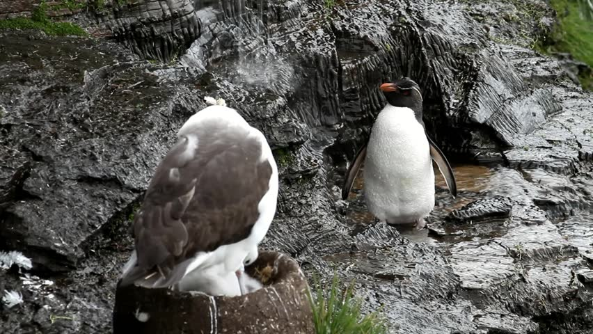 Rockhopper penguin taking a shower, albatross is nesting